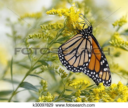 Stock Photograph of Monarch Butterfly Nectaring on Canada.