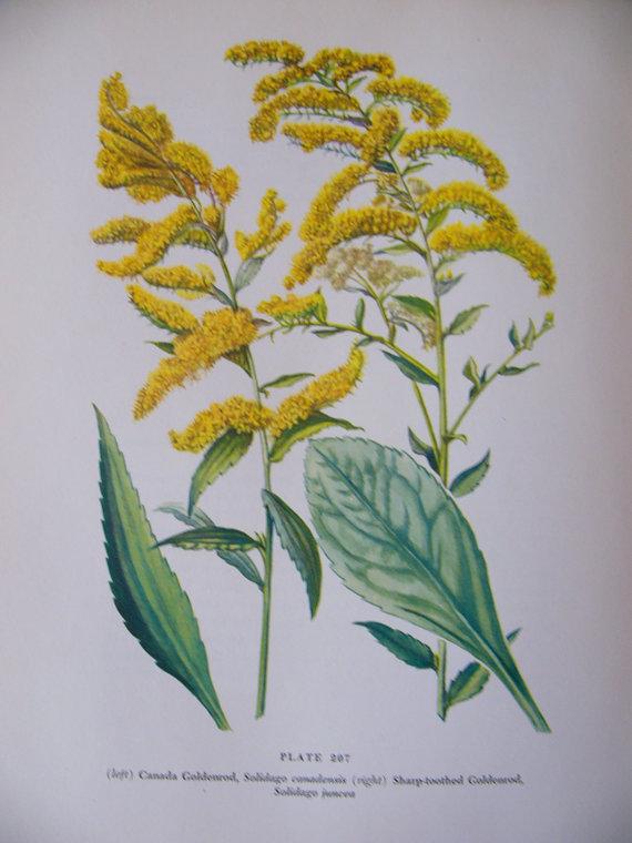 Vintage Botanical Print Canada Goldenrod by PoppysPaperShop.