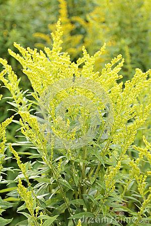 Canada Goldenrod Stock Image.