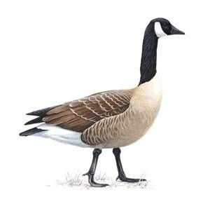 1000+ images about canadian geese on Pinterest.