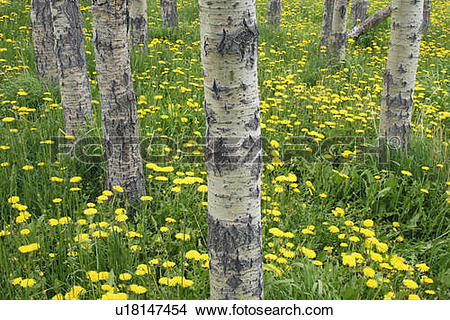 Stock Photo of Balsam Poplar forest (Populus balsamifera) and.
