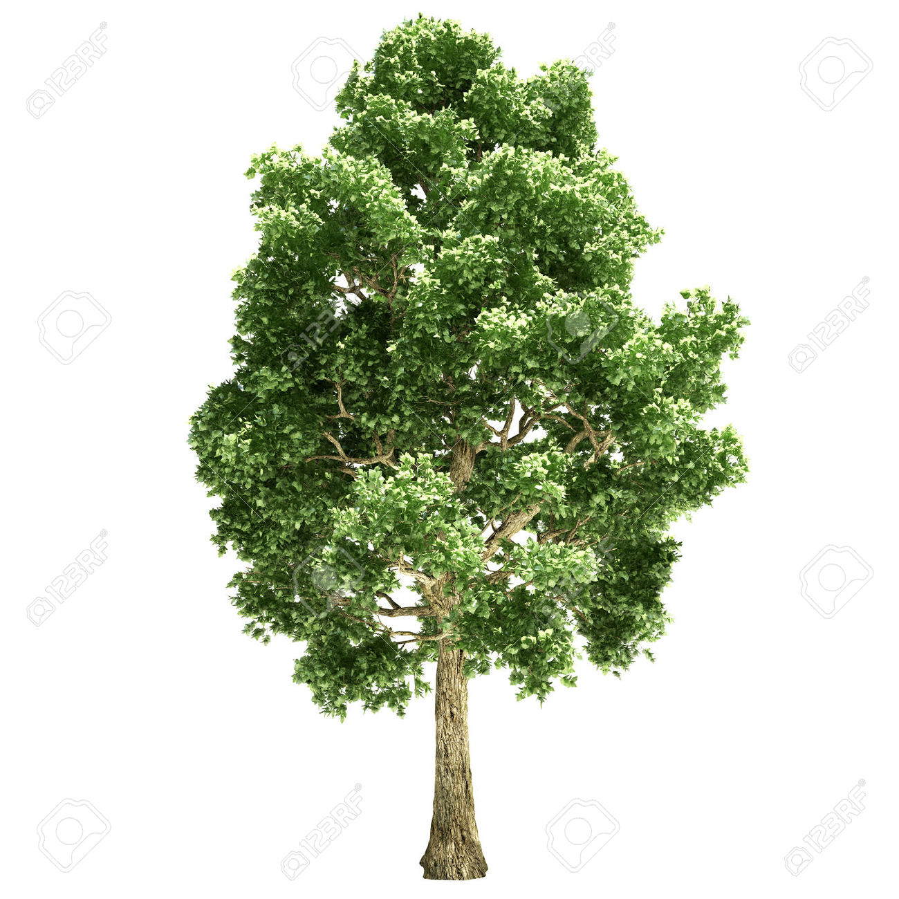 Poplar Tree Isolated On White. Stock Photo, Picture And Royalty.