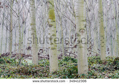 Canadian Forest Of Poplars In Winter. Populus Canadensis. Stock.