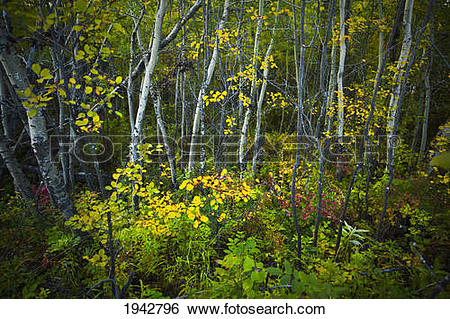 Stock Images of Colorful Autumn Leaves In A Poplar Forest.
