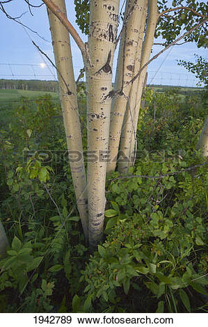 Stock Photograph of A Small Stand Of Poplar Trees In Evening Light.