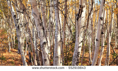 Poplar Tree Stock Photos, Royalty.