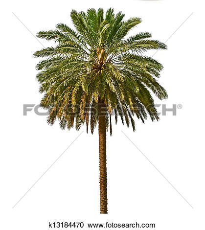 Stock Photography of Palm tree isolated on white background.