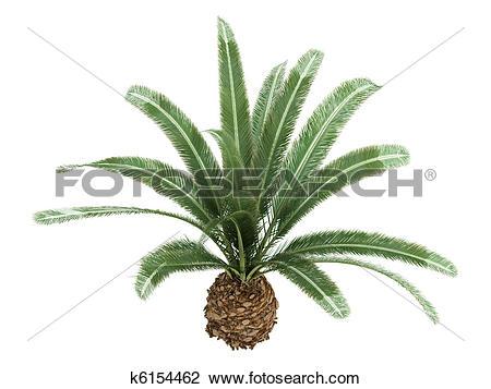 Clip Art of Date Palm or Phoenix canariensis k6154462.