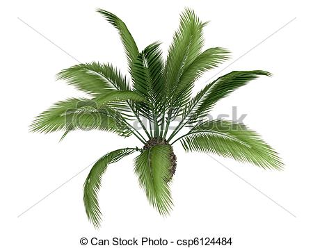 Drawing of Canary date palm or Phoenix canariensis.