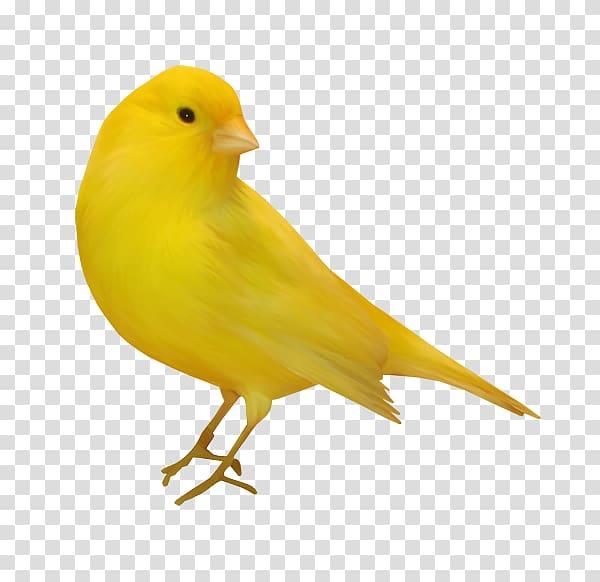 Domestic canary Bird , Bird transparent background PNG.