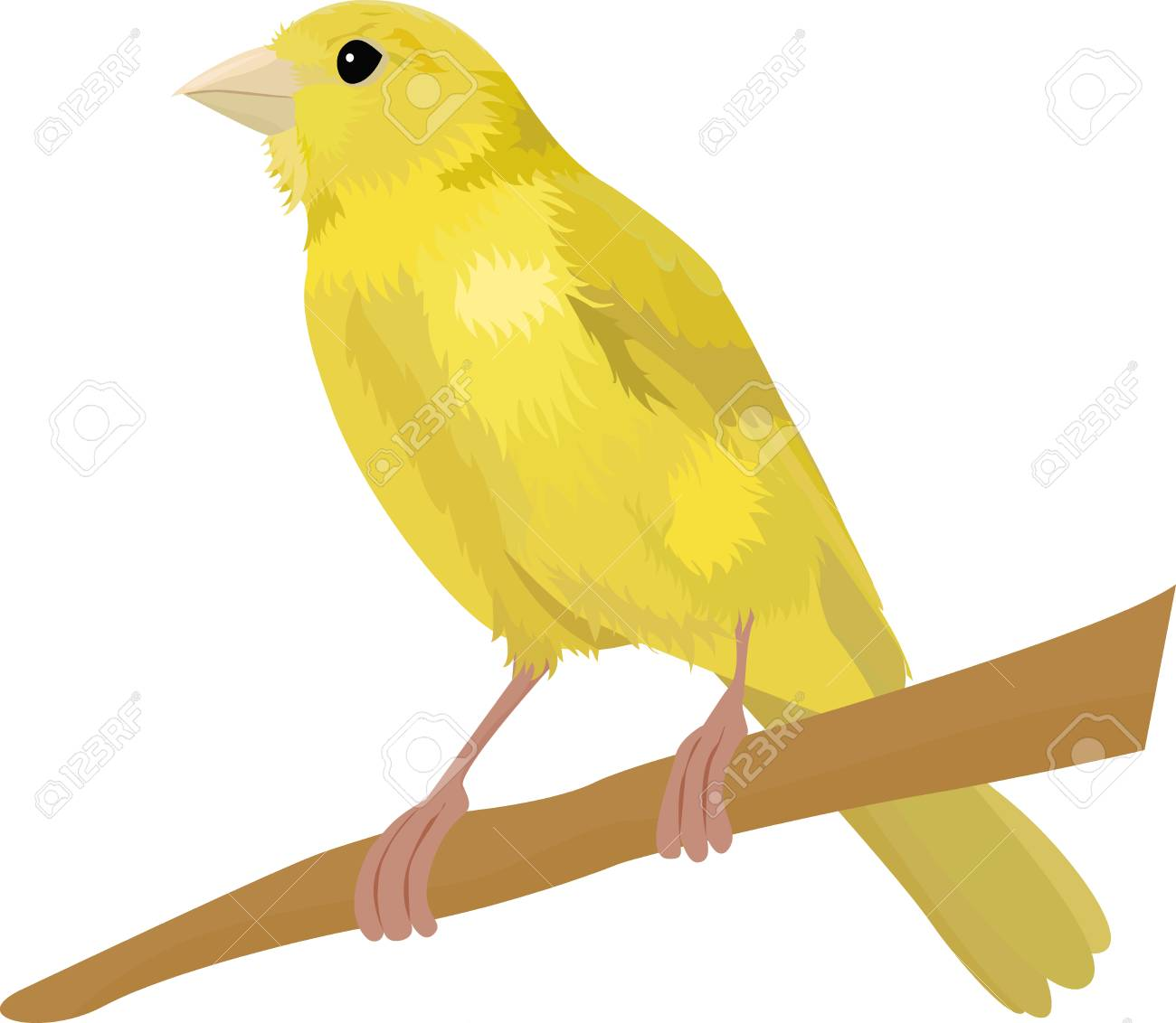 Canary bird vector illustration Isolated on white » Clipart.