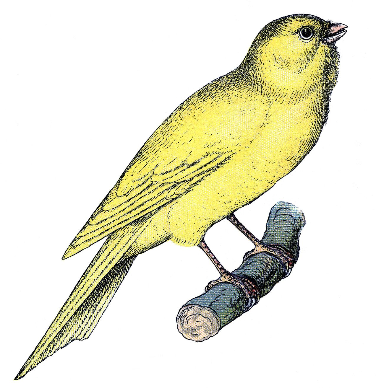 11 Canary Bird Images & Cages!.