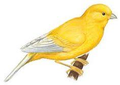 Canary clipart #15