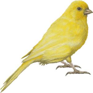 Free clip art canary.