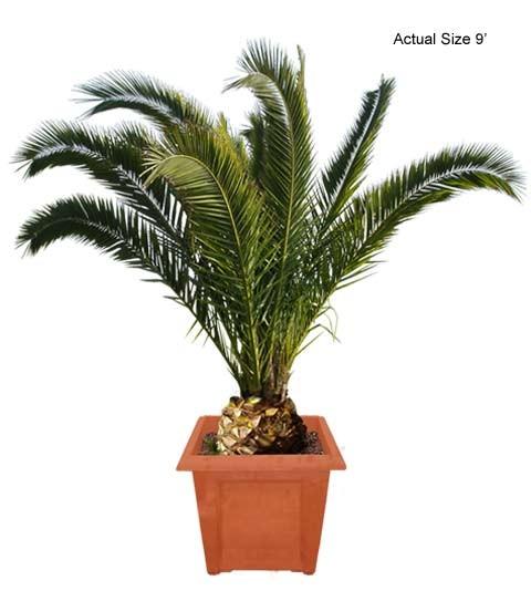 Canary Island Date Palm Tree, Canary Date Palm, Phoenix.
