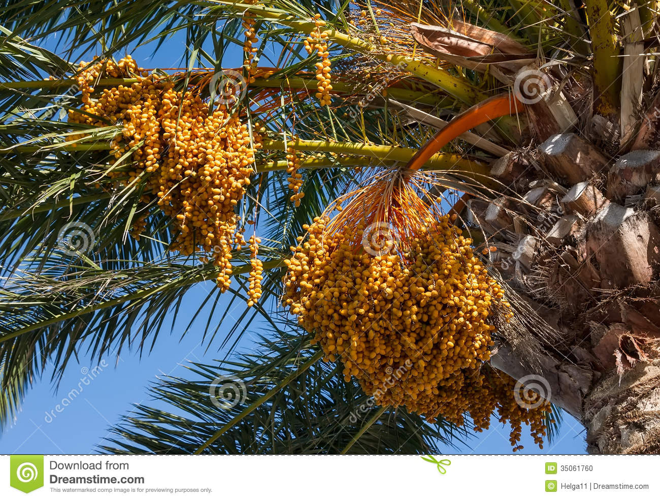 The Fruits Of Canary Island Date Palm Stock Photo.