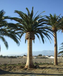 Canary Island Date Palm (Phoenix canariensis).