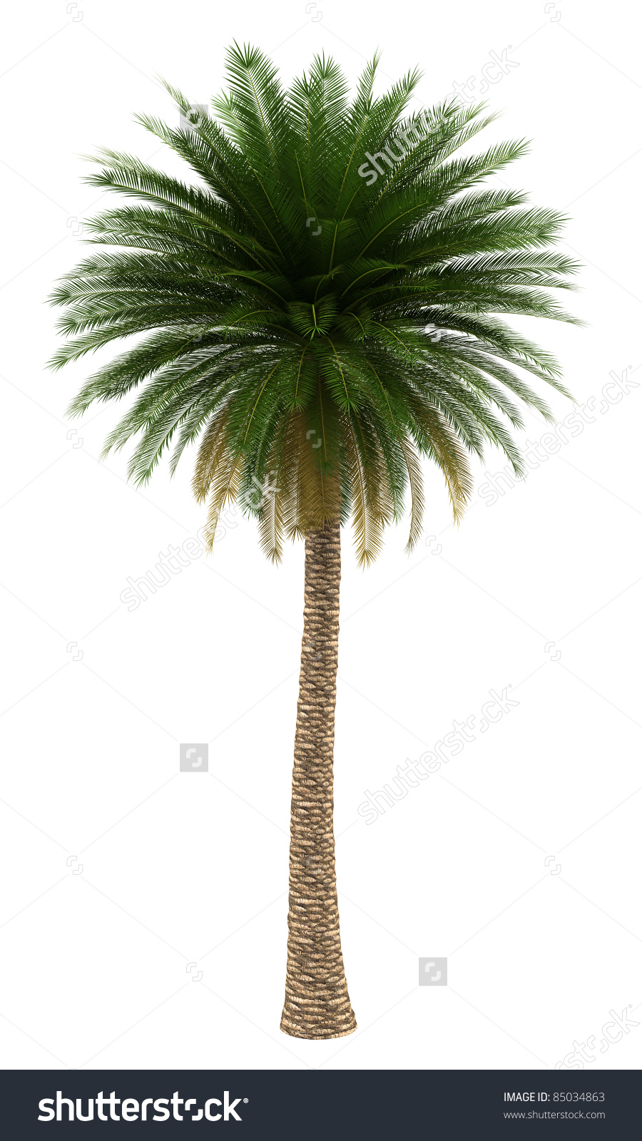 Canary Island Date Palm Tree Isolated On White Background Stock.