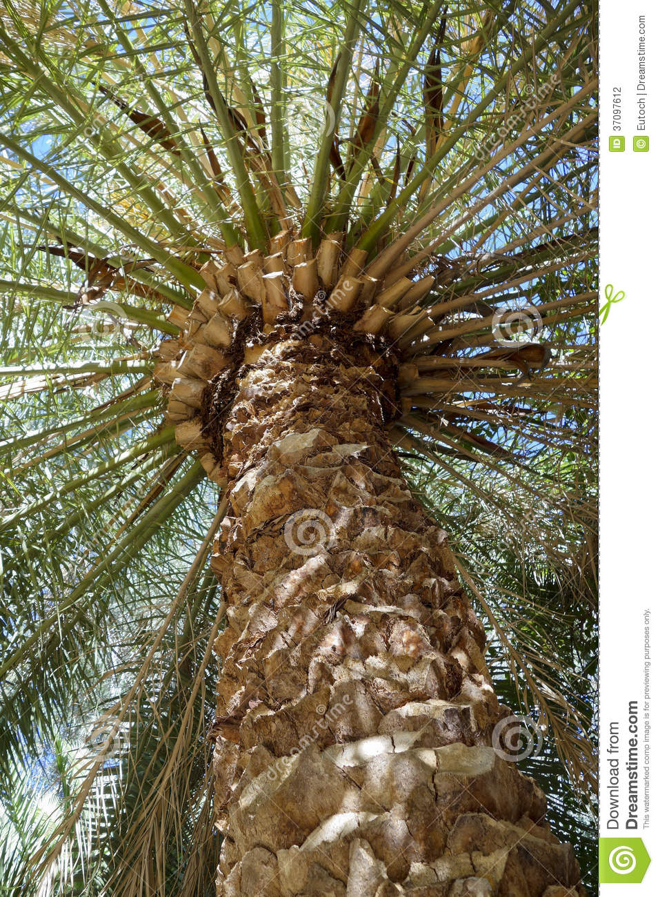 Canary Island Date Palm Tree Stock Photography.
