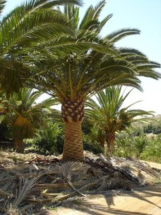 buy date palms for any backyard.