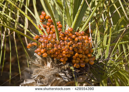 Canary Island Date Palm Stock Photos, Royalty.