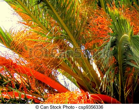 Stock Image of Canary Island Date Palm Tree.