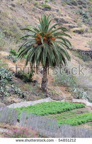 Phoenix Canary Date Island Palm Stock Photos, Royalty.