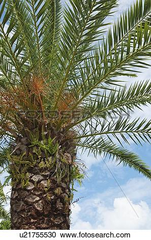 Stock Photography of Canary Island Date palm tree u21755530.