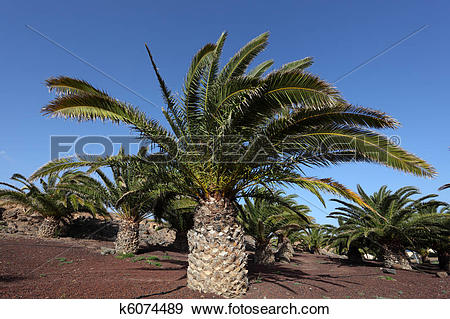 Stock Photograph of Canary Islands Date Palm Trees, Fuerteventura.