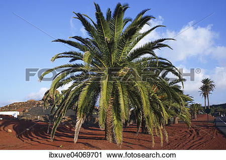 Stock Photography of Canary Island Date Palm (Phoenix canariensis.