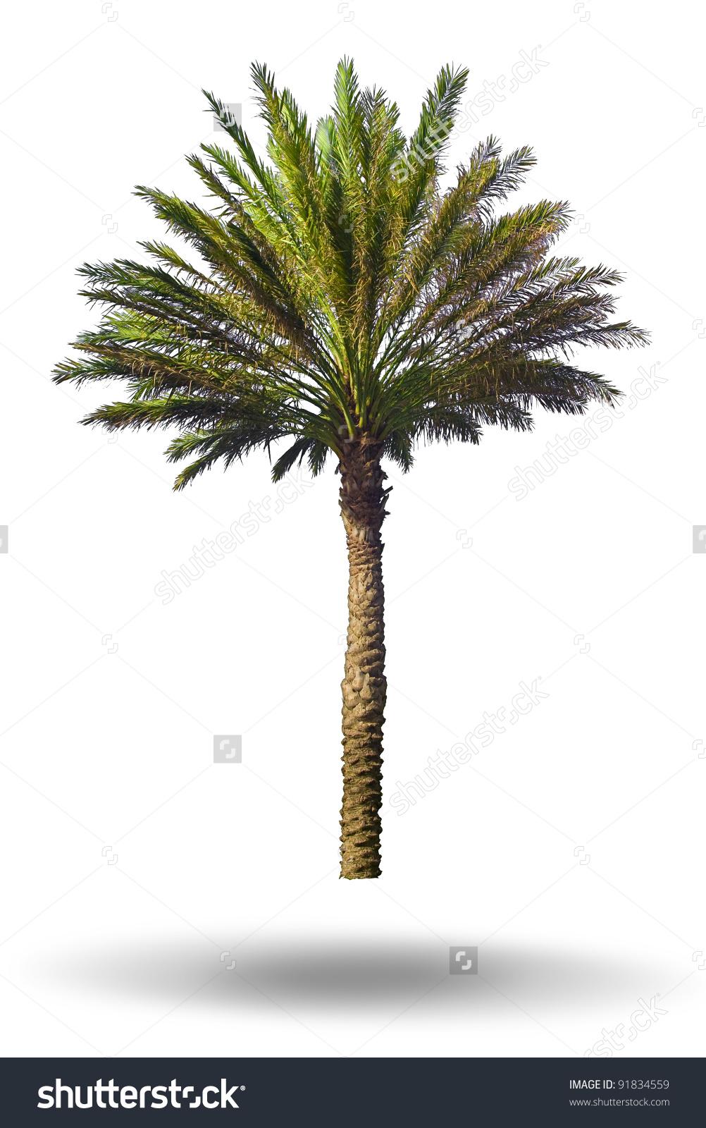 Palm Tree Isolated On White Background Stock Photo 91834559.