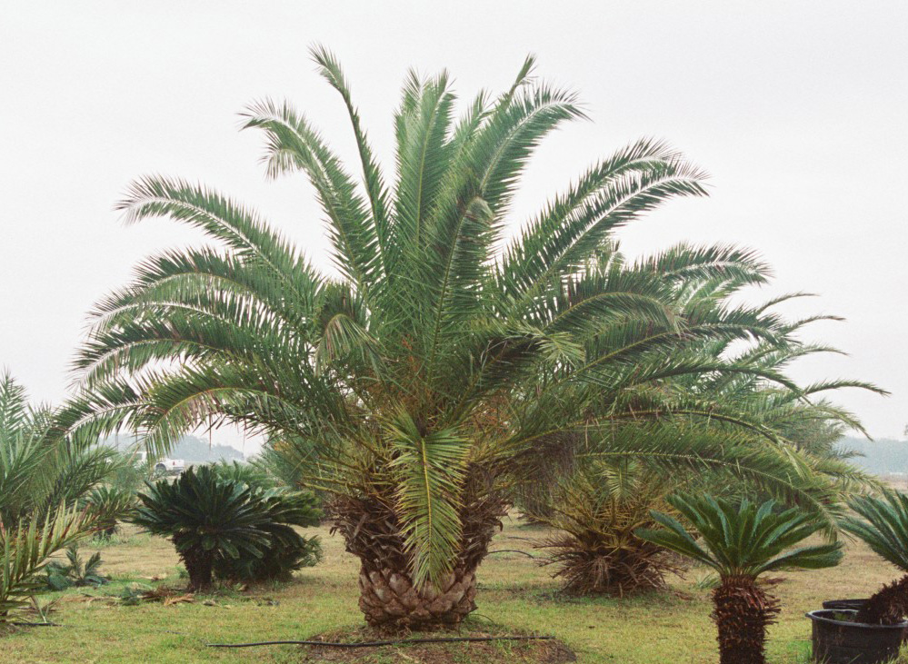 1000+ ideas about Date Palms on Pinterest.