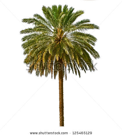 Date Palm Tree Stock Photos, Royalty.