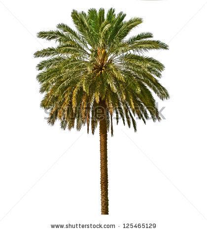 Date Palm Tree Stock Photos, Royalty.