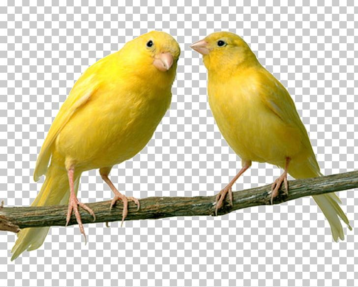 Domestic Canary Bird Finch Canary Islands Pet PNG, Clipart, Animals.