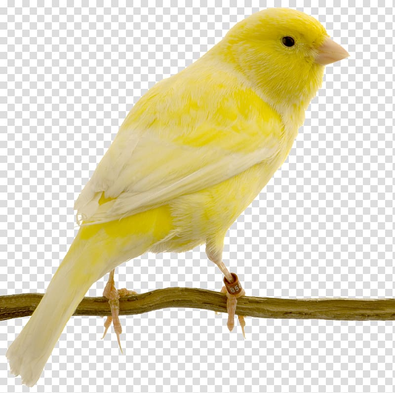 Yellow bird , Red factor canary Yellow canary Bird Swallow.