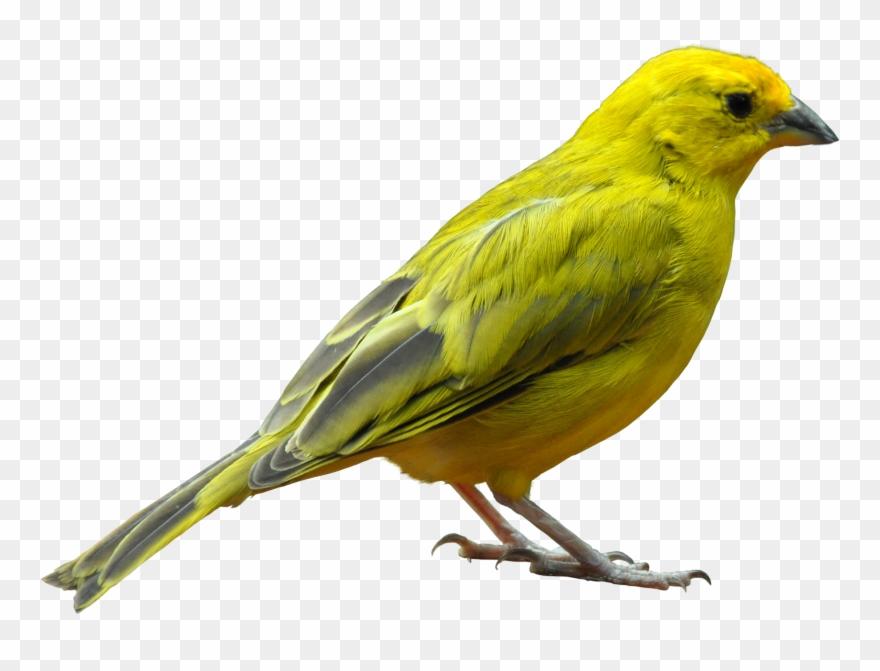 Canary Bird Clip Art.