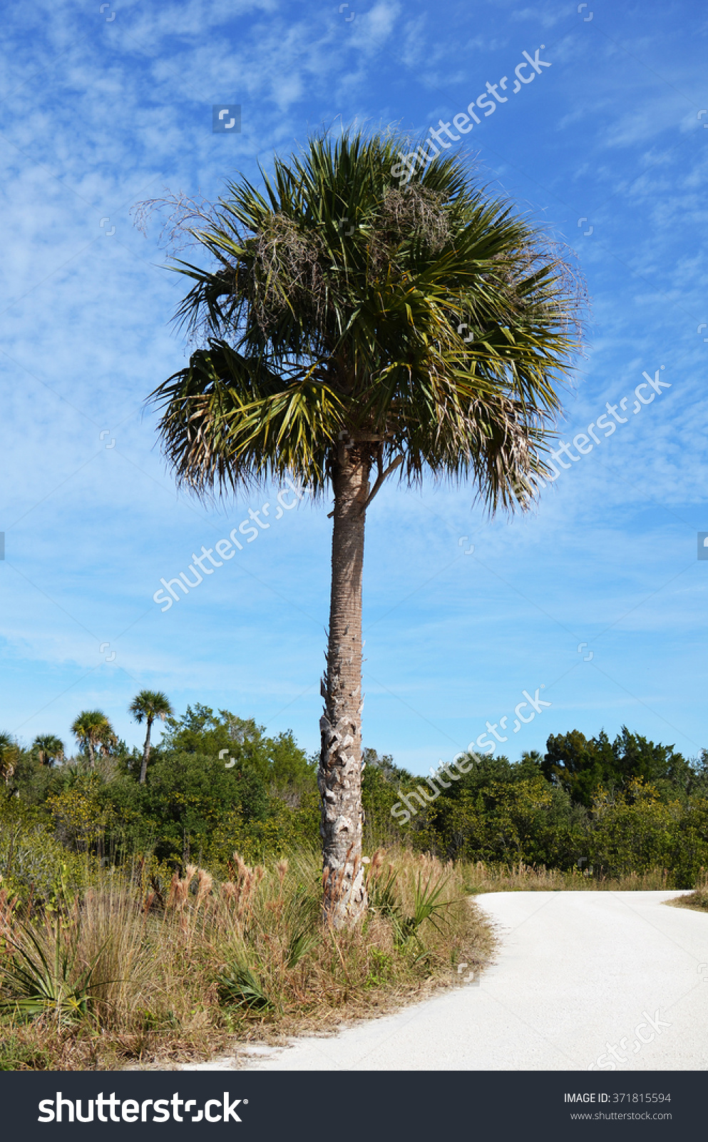Palm Tree By A Dirt Road At The Wild Life Refuge In Cape Canaveral.