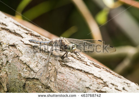 Black Tailed Skimmer Stock Photos, Royalty.