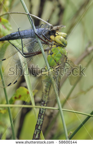 Long tailed skimmer Stock Photos, Images, & Pictures.