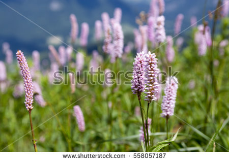 Snakeroot Stock Photos, Royalty.