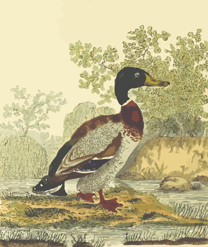 Mallard bird in nature clip art.