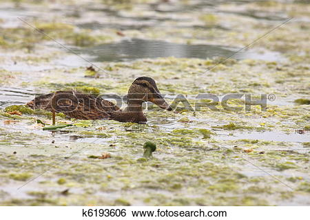 Stock Images of Young mallard female, duck cane k6193606.
