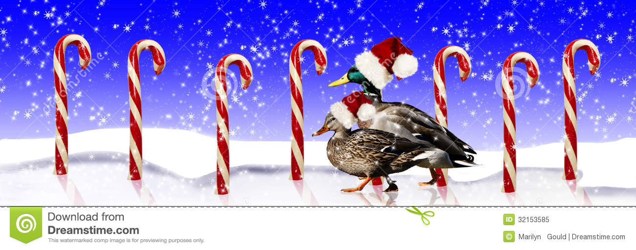 Mallard Ducks Santa Hats Royalty Free Stock Photo.
