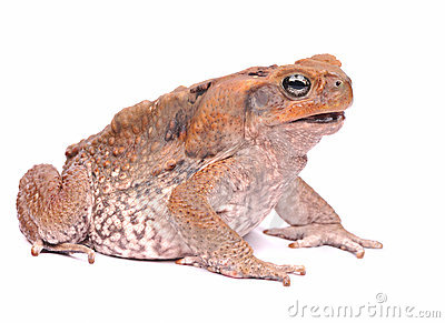 Poison Cane Toad Royalty Free Stock Photography.