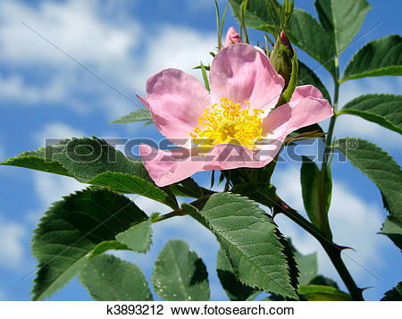 Stock Photo of pink wild rose (Rosa canina) k3893212.