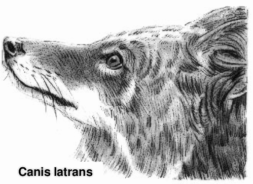 Coyote Clip Art Download.