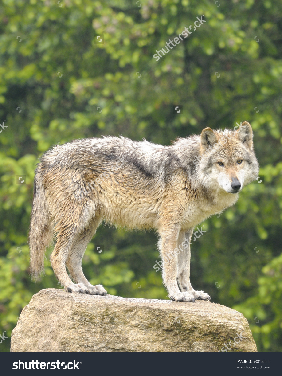 Mexican Gray Wolf Canis Lupus Baileyi Stock Photo 53015554.