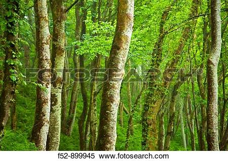 Stock Image of Forest, Canna, Small Isles, Inner Hebrides.