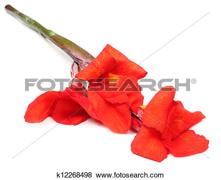 Pictures of Canna indica or Kolaboti flower k12268498.